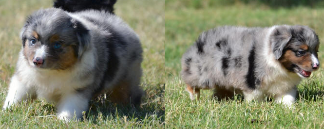 This Blue Merle Male Puppy Looks Like A Tiny Hippo He S Got Short Stubby Legs And A Heavy Australian Shepherd Puppies Aussie Puppies Toy Australian Shepherd