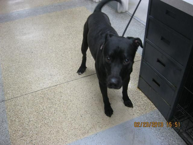 ZULU-ID#A700961    My name is ZULU.    I am a male, black and white Labrador Retriever mix.    The shelter staff think I am about 3 years old.    I have been at the shelter since Feb 23, 2013.