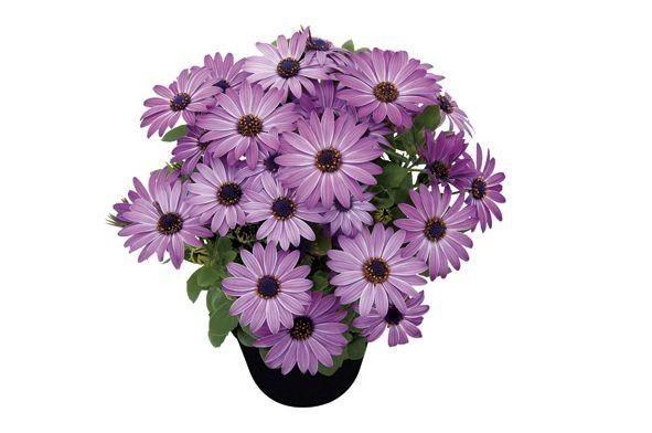 Osteospermum Stokrotka Z Afryki Modny Kwiat Na Balkony I Tarasy Nowe Odmiany Osteospermum Zdjecia Plants Balcony