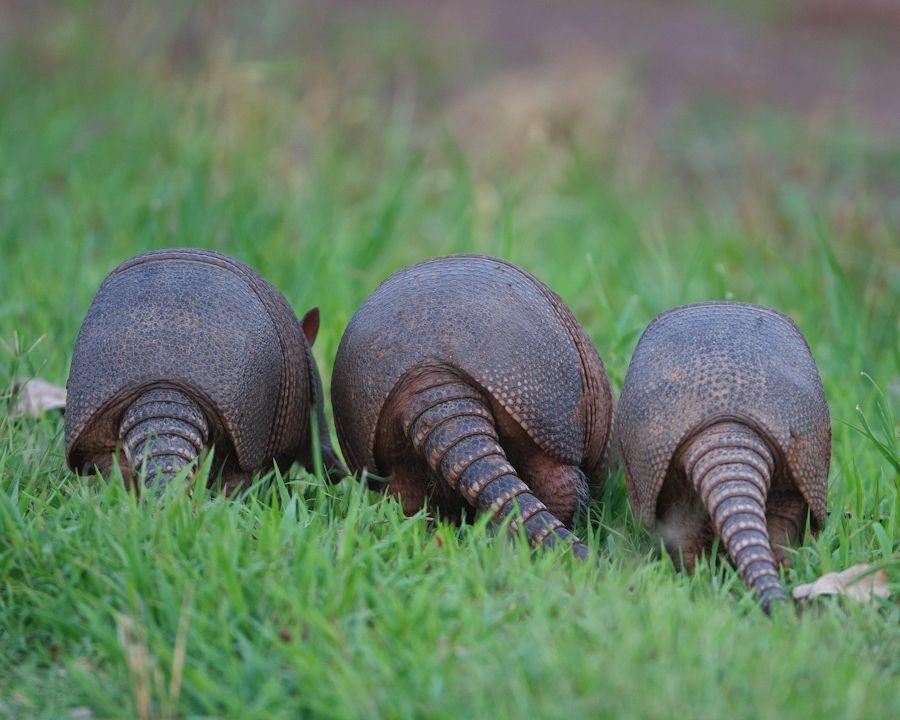 Armadillo triplets armadillo happy tails texas
