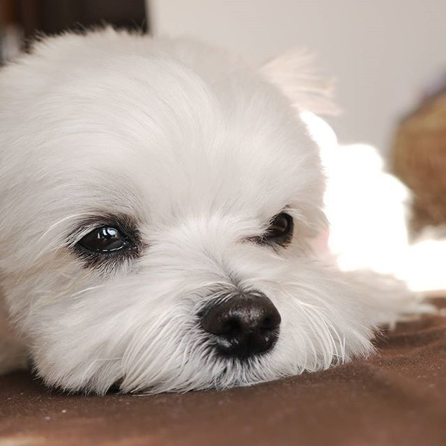 Pin by Nancy M on Bichon Frise' curly lap dog Maltese