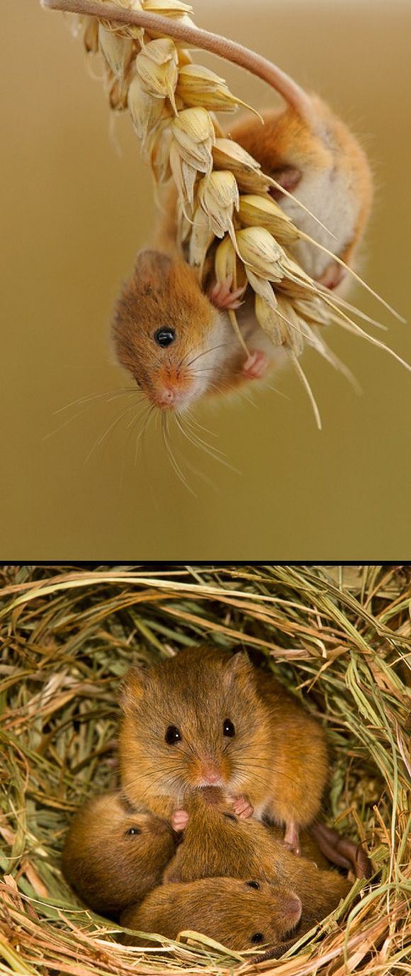 Harvest Mouse.Harvest mice are Europe's smallest rodents with a remarkable prehensile tail. This long, hairless 'limb' aids climbing through the tall, dense vegetation of their meadow, hedgerow and crop field homes. In the UK, they are rarely found north of Yorkshire or in Wales.Harvest mice weave complex spherical nests out of grass. The one-use breeding nest is roughly the size of a cricket ball and built about a metre above ground in spring and summer.