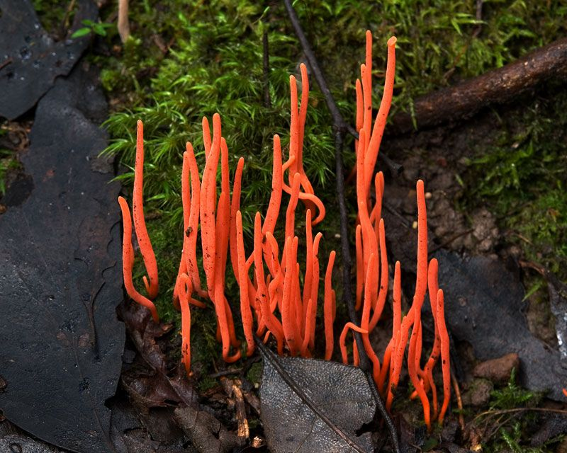 "Photograph by JJ Harrison. ""The Clavariaceae are a family of fungi in the Agaricales order of mushrooms. The family contains 7 genera and 120 species. Collectively, they are commonly known as coral fungi due to their resemblance to aquatic coral, although other vernacular names including antler fungi, finger fungi, worm mold, and spaghetti mushroom are sometimes used for similar reasons."""