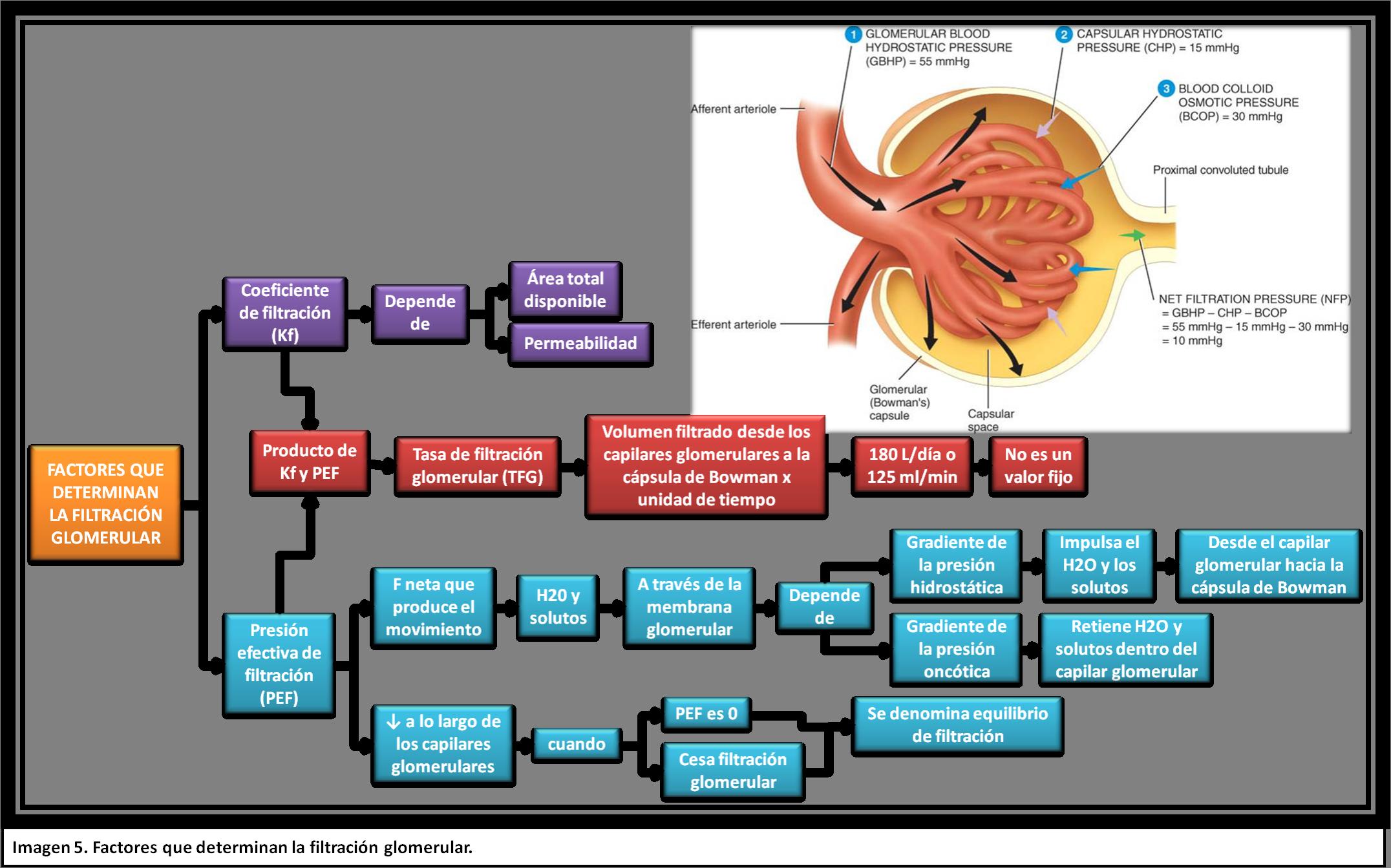 sistema renal fisiologia - Buscar con Google | FISIOLOGIA SISTEMA ...