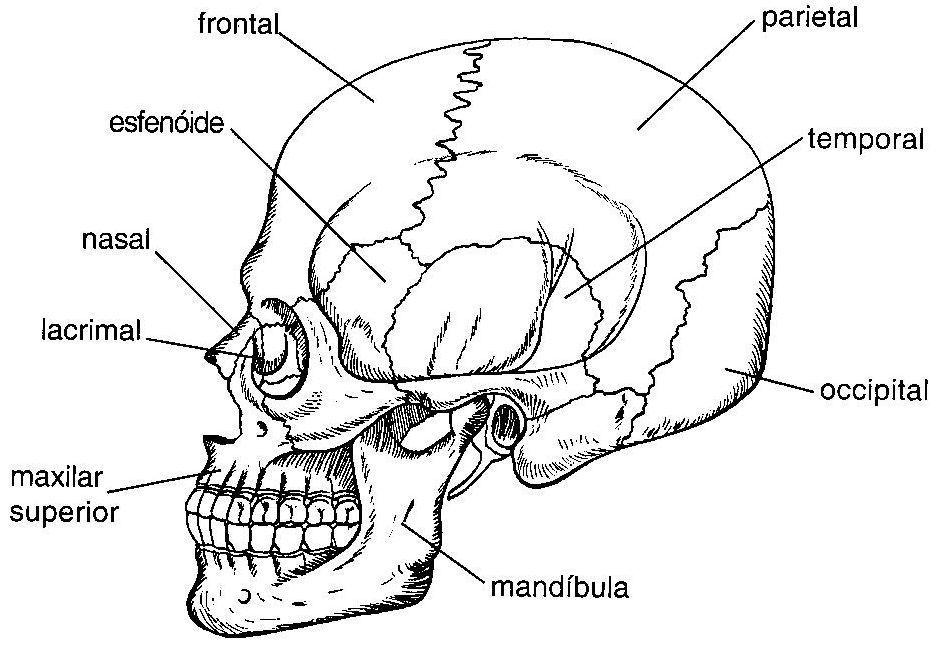 Ossos Do Cranio Pesquisa Google Com Imagens Corpo Humano