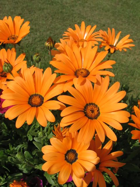 Dimorphotheca aurantiaca Spring Flash Orange African Daisy