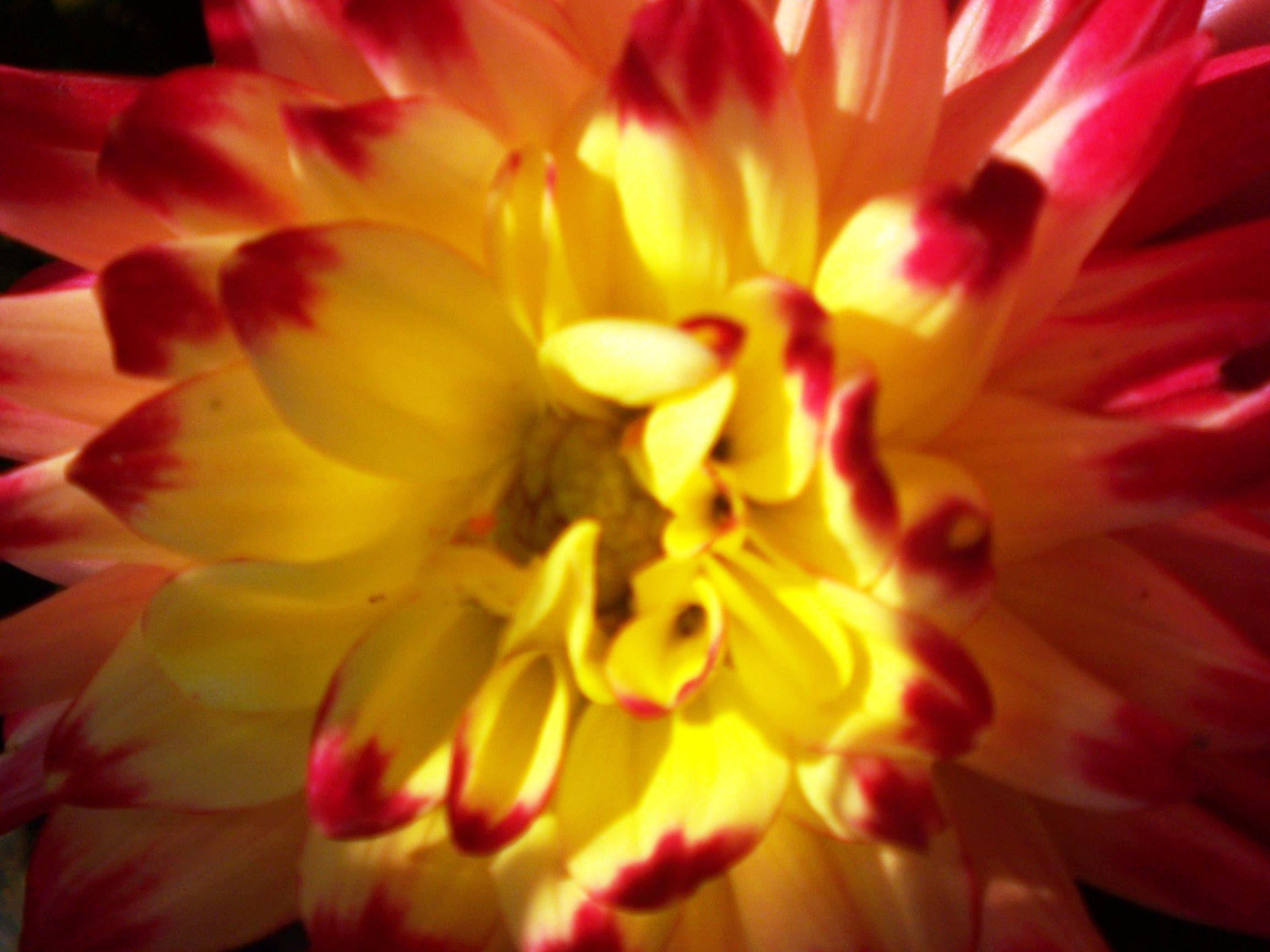 Yellow u red tipped dahlia flowers wild and tame pinterest dahlia