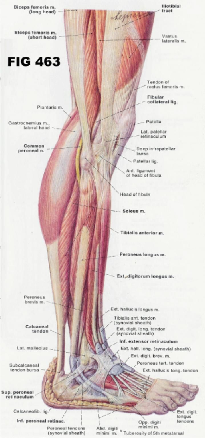 Leg And Foot Musculature Google Search Anatomy Pinterest