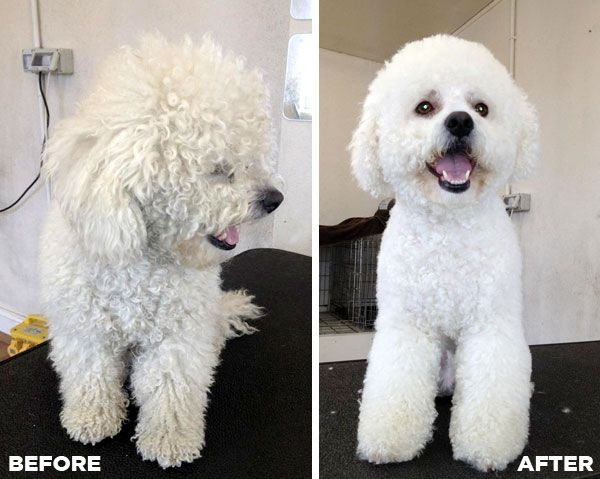 Before After Grooming Photo Of A Bichon Frise Bichon Bichon