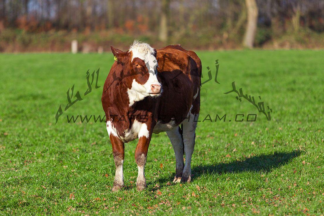 تفسير حلم البقرة للعزباء