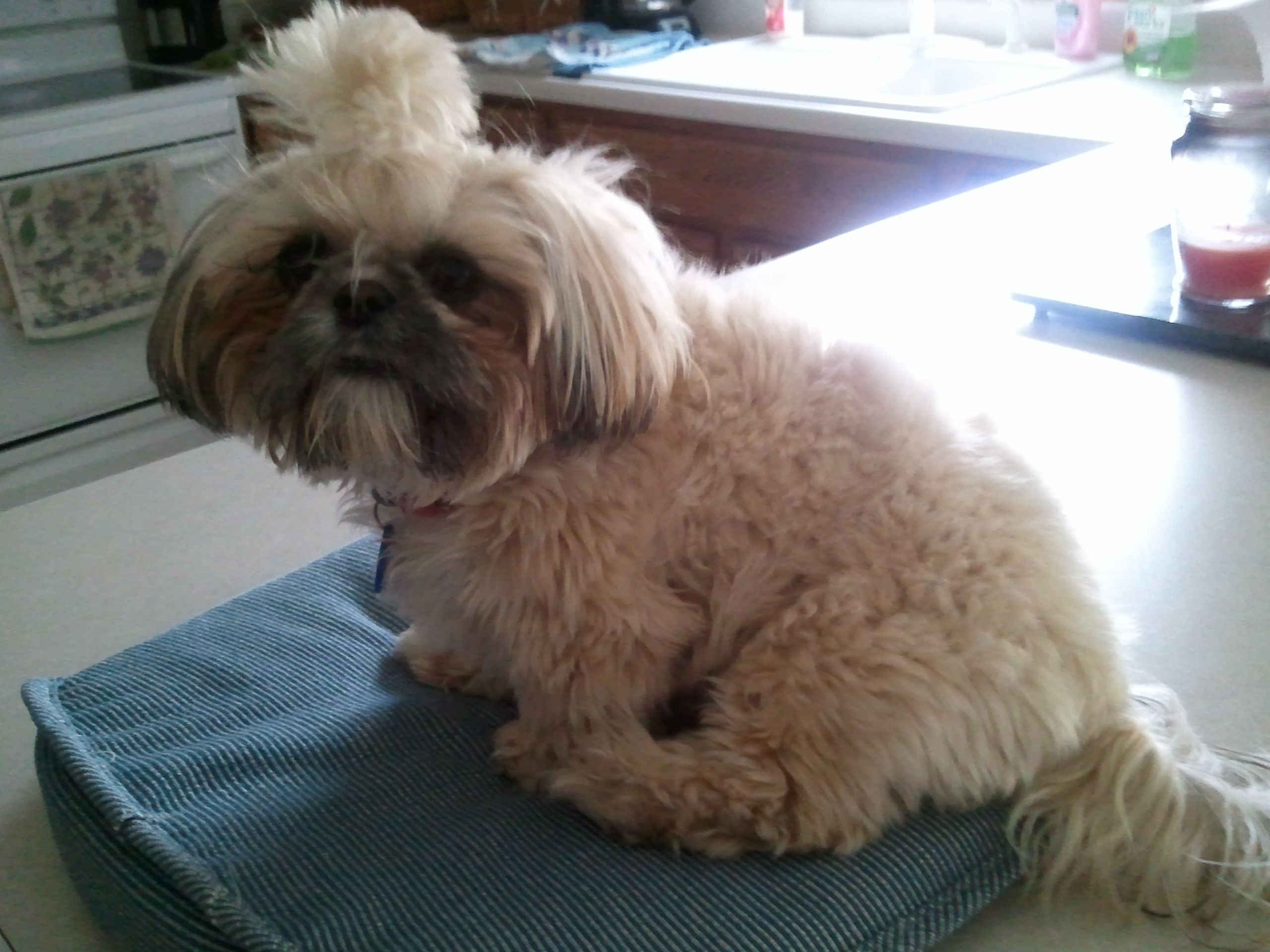 Fluffy Shih Tzu Shih Tzu Cute Animals Doggy