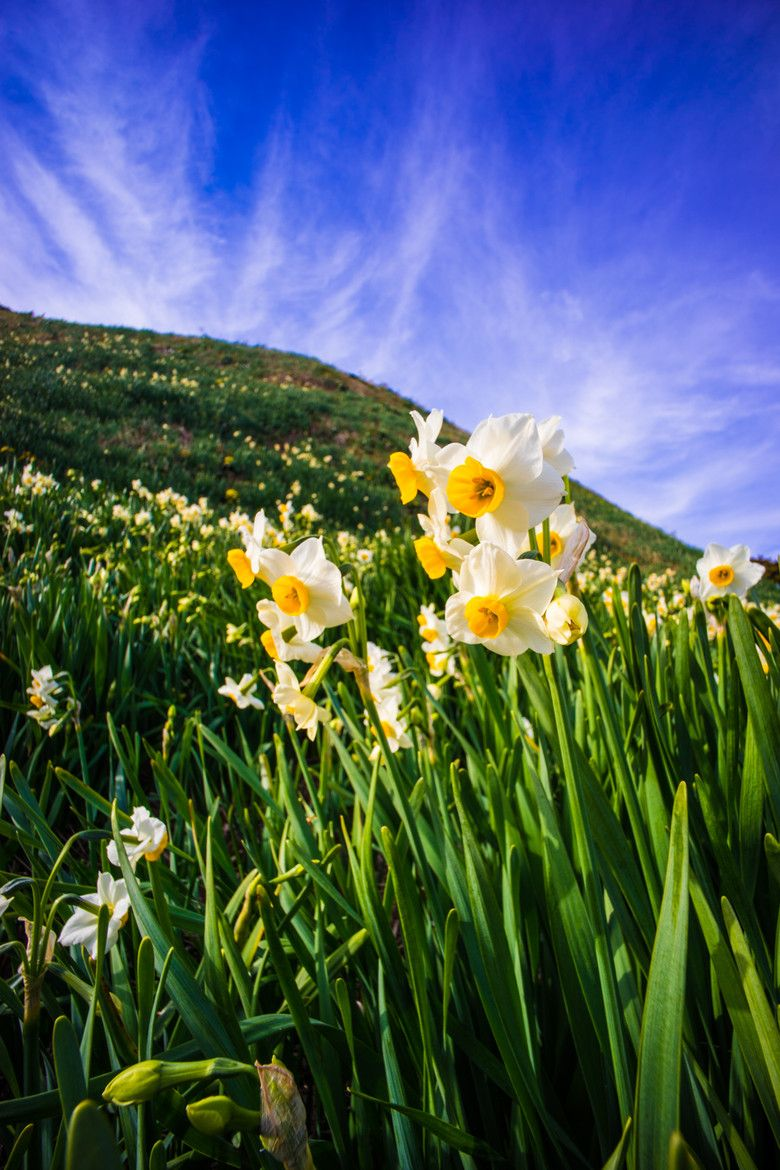 Narcissus Daffodils, Flower field, Spring bulbs