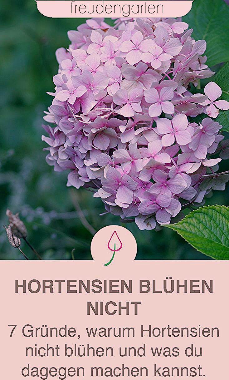 Photo of Warum Hortensien nicht blühen