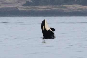J46 Star in 2014 Photo by Melisa Pinnow #orca