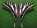 Swallowtail, Zebra  Eurytides marcellus