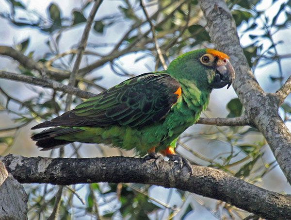 The red-fronted parrot (Poicephalus gulielmi), also known as the Jardine's parrot, is a medium-sized mainly green parrot endemic across wide areas of Africa. It has three subspecies. The extent and shade of the red or orange plumage on its head, thighs, and bend of wings vary depending on the subspecies. They are popular as pets, partly because of their ability to mimic speech and copy sounds.