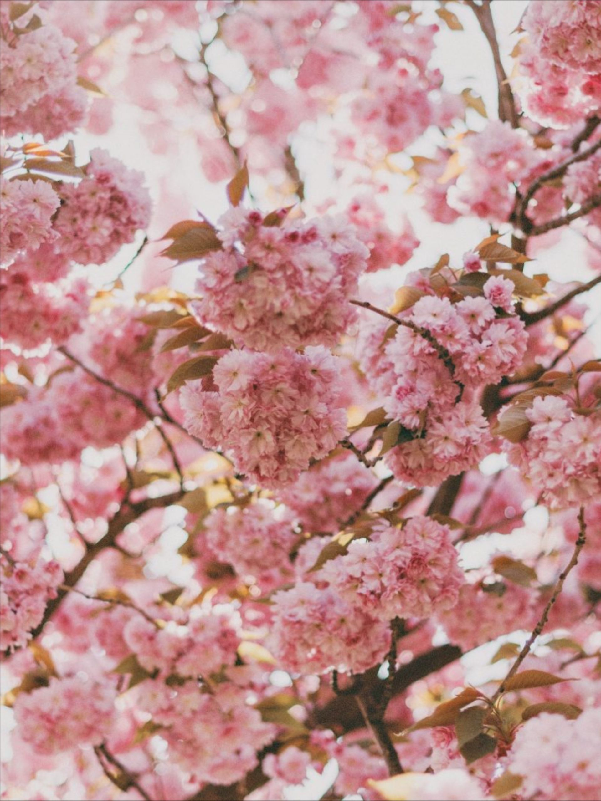 Valentine S Day Gifts For Him And Her In 2020 Cherry Blossom Wallpaper Wallpaper Nature Flowers Flower Wallpaper