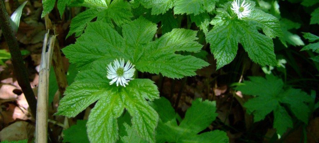 Sello de oro planta medicinal | Infección por hongos, Hierbas curativas,  Herbología