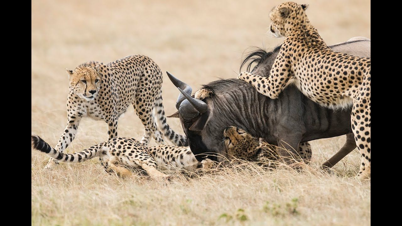5 Cheetahs Chase and Kill a Wildebeest - unedited and graphic
