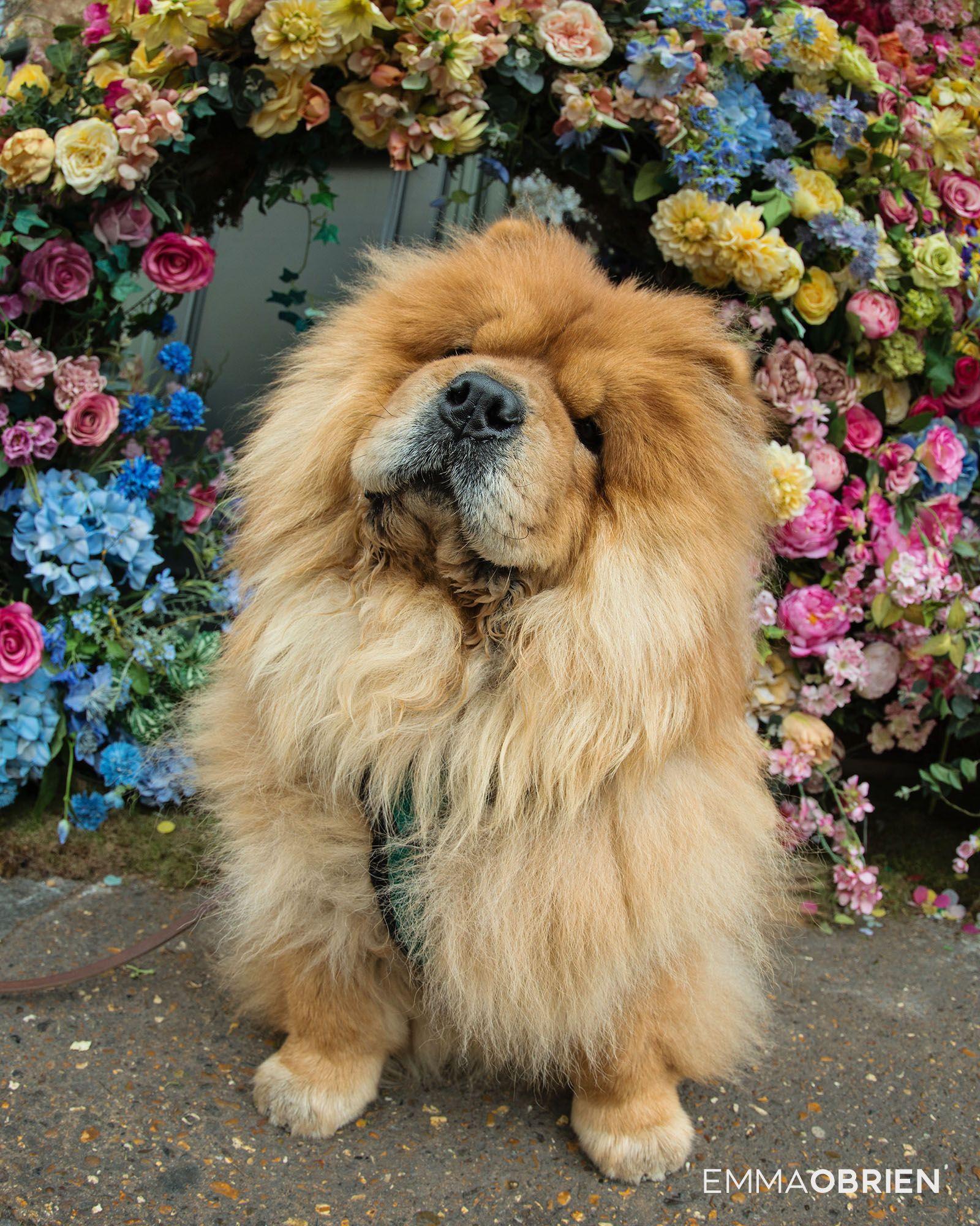 Chelsea Dog Photographer London Chowchow Chelsea Londondog