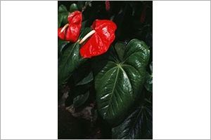 Flamingo Flower Toxic Plants For Cats Cat Safe Plants Plants