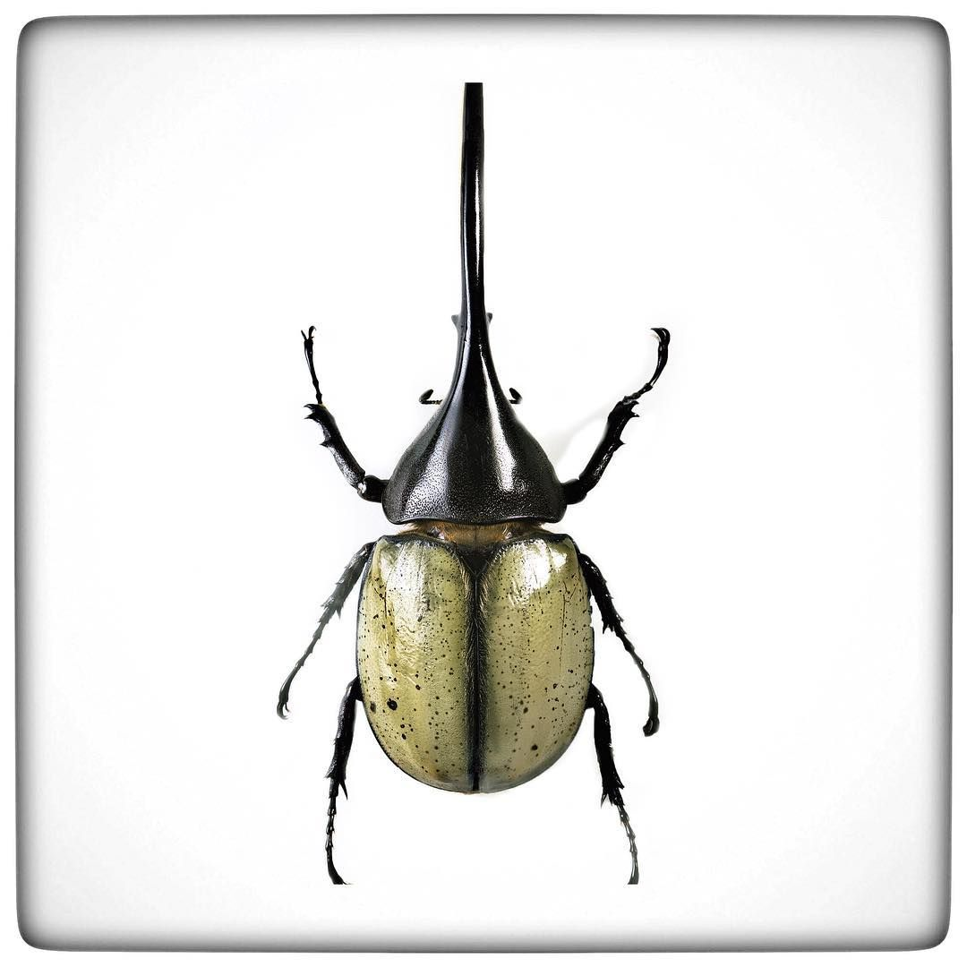 This is a Goliath Beetle one of the largest insects in the world. It is one of over 450,000 known species of Beetles.