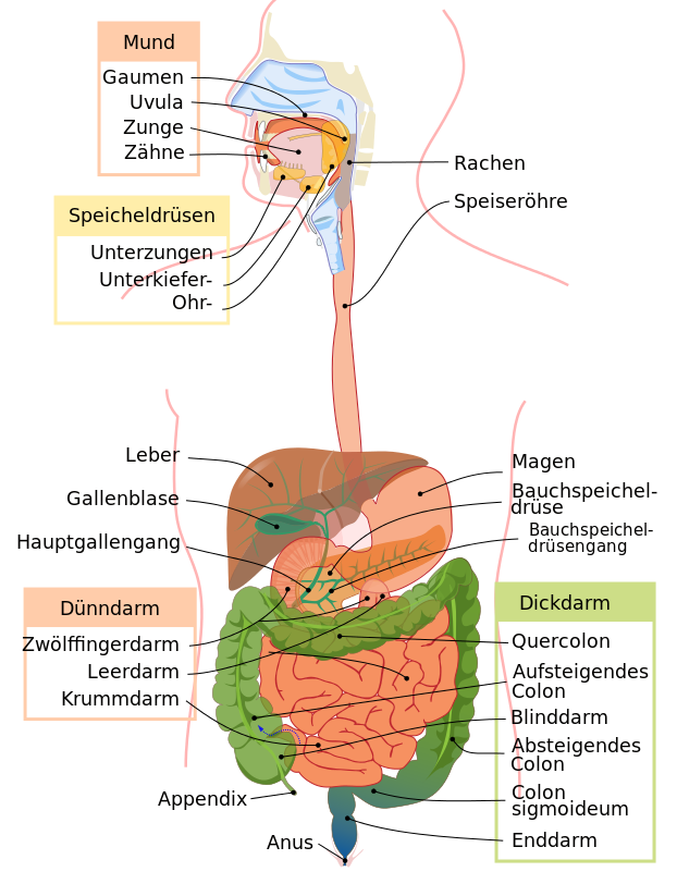 Digestive system diagram de - Verdauung – Wikipedia | Clean Thinking ...