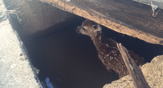 Fawn Rescued From Water Pit