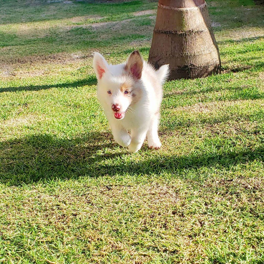 🏡🐕❤ Curtindo a nova casinha! . . #bordercolli #bordercolliesofinstagram #bordercollielovers #bordercollieredmerle #redmerle #filhote #puppy #puppylove #cachorrinho #4patas #diaespecial #fofura #bebezinho #filhotebordercollie #collie #baby #pet #dog #boanoite #puppylife #puppydog