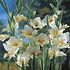 Gladiolus A Wonderful Summer Flower Bonsai Flower Gladiolus Bulb Flowers