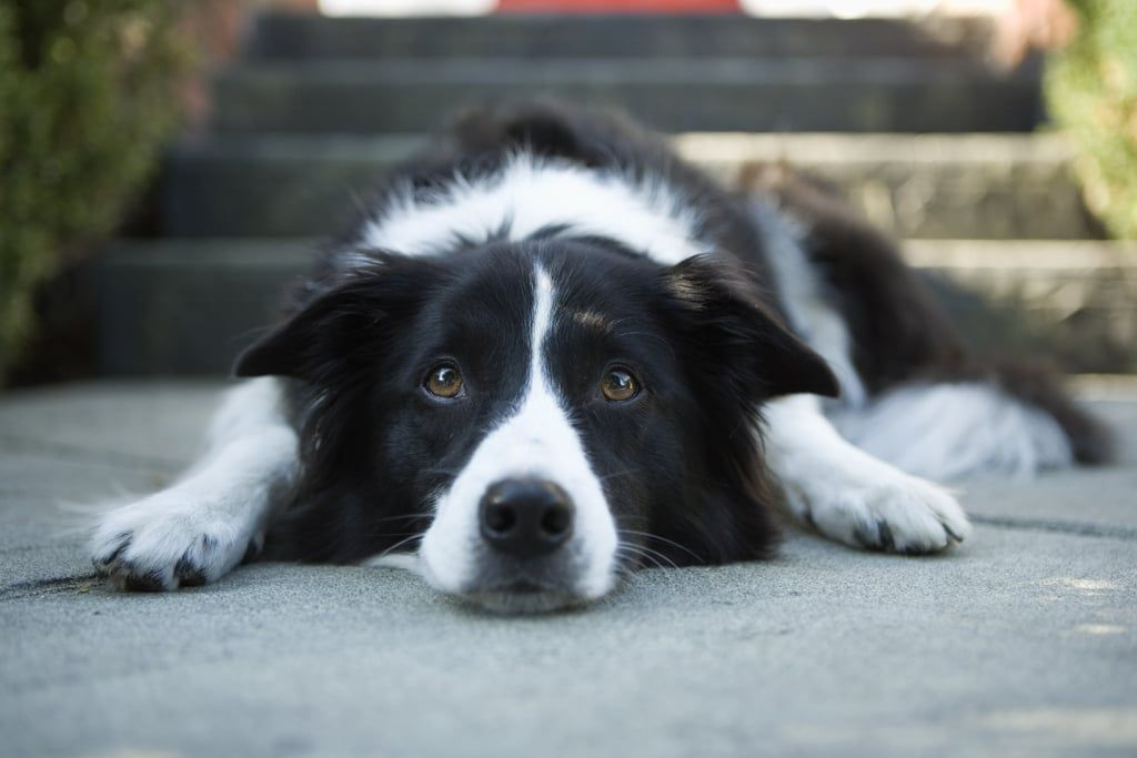 Border Collies Epilepsy In Dogs Lyme Disease In Dogs Collie
