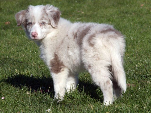 Lilac Merle Border Collie Puppy Collie Puppies Border Collie Lilac Border Collie Colors