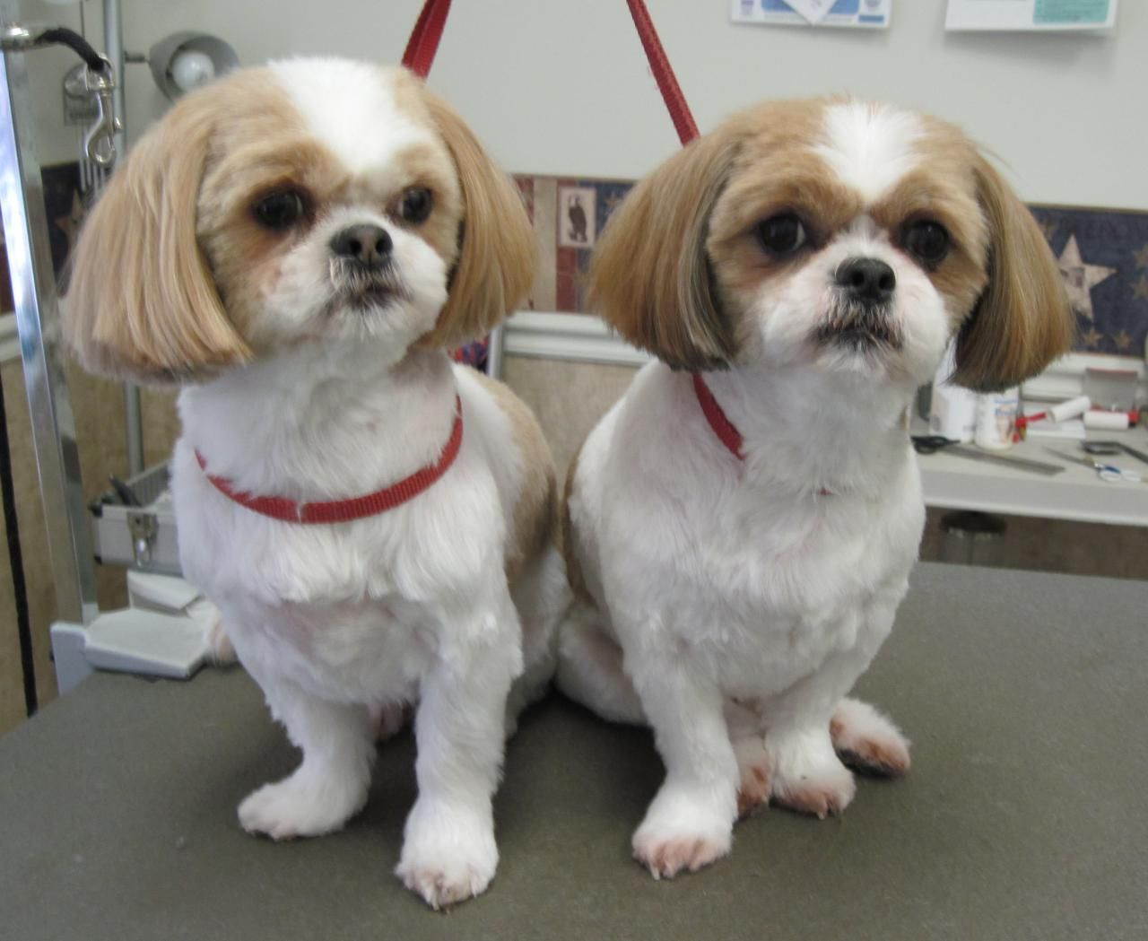 shih tzu puppy hair styles shih tzu haircuts shih tzus feeling clean and 9446