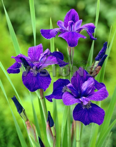 Iris Siberica Ceasar S Brother Purple Flowers Garden Types Of Purple Flowers Flower Landscape