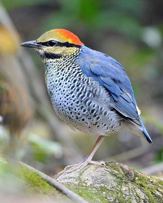 blue pitta beautiful birds pinterest vogel heimische v gel und heimisch. Black Bedroom Furniture Sets. Home Design Ideas