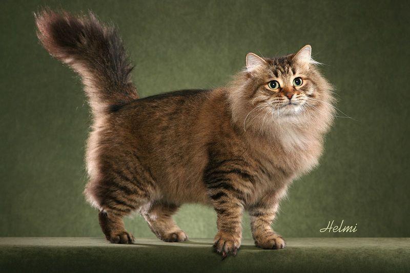 Siberian Cat Price Range Siberian Forest Kittens For Sale Siberian Cat In 2020 Siberian Cat Domestic Cat Breeds Cat Breeds