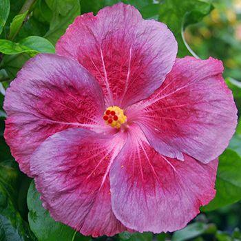 Time For Love Tropical Hibiscus Hibisco Jardinagem E