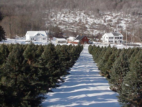 on average over 2000 christmas trees are planted per acre - How Many Christmas Trees Per Acre