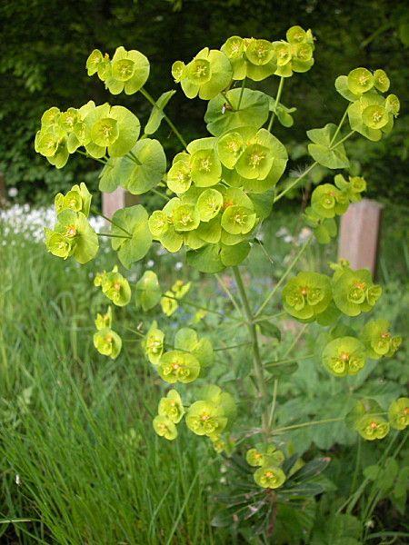 Euphorbe des bois fleurs plantes nature for Plante vivace verte