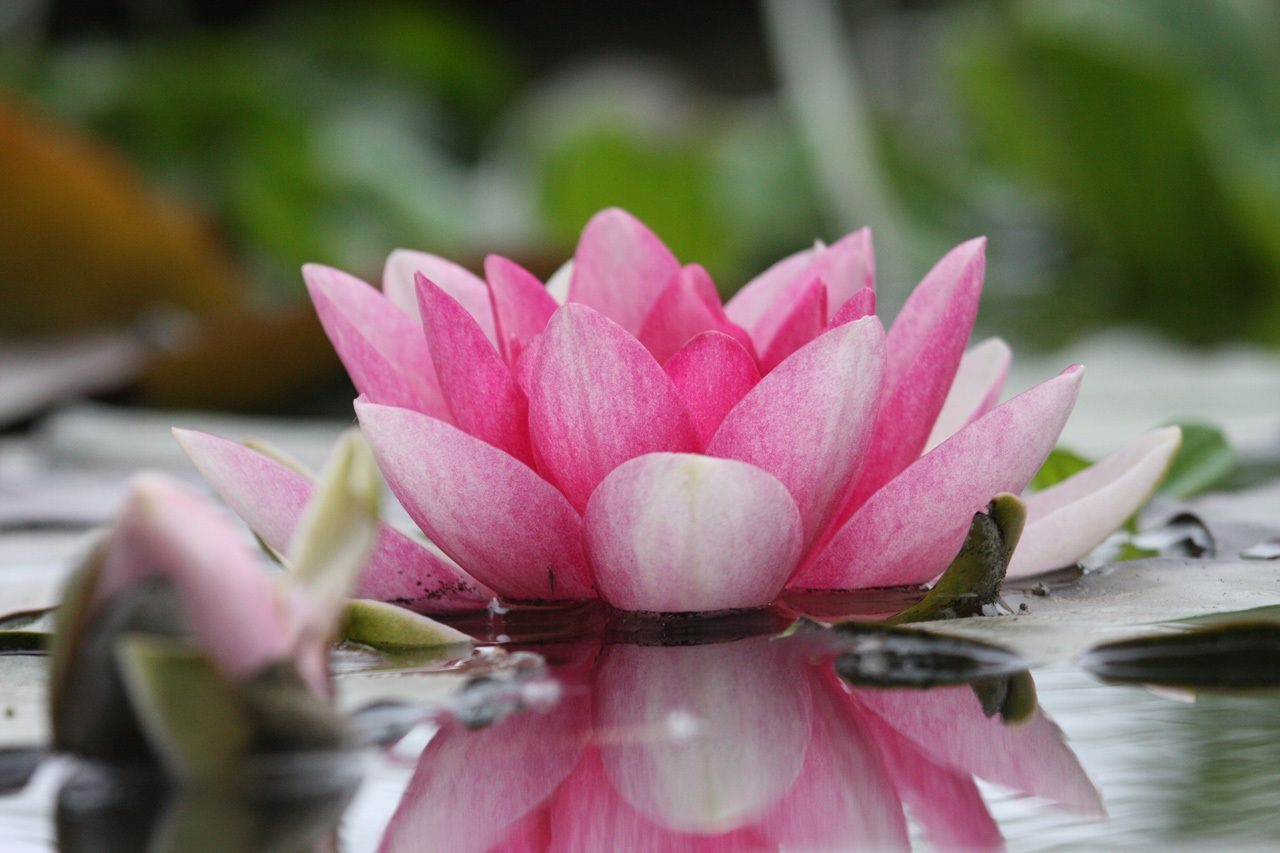 The National Flower Of India Lotus Flower Made In India Lotus