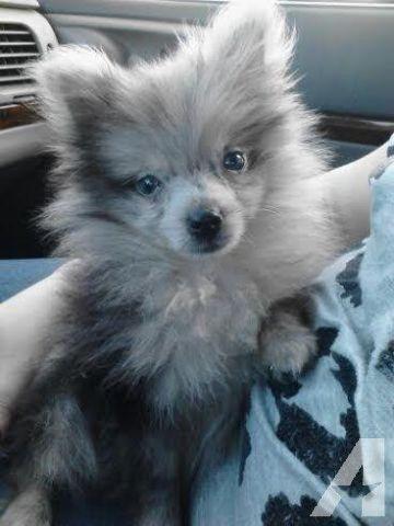 Female Aca Blue Merle Pomeranian Puppy Rare Color 7 Months Pomeranian Puppy Blue Merle Pomeranian Pomchi Puppies