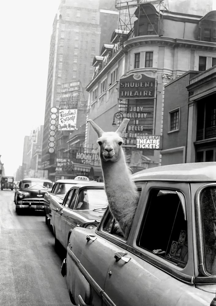 """Llama Riding in Taxi, Black and White Vintage Print Mini Art Print by Vibrant Vintage - Without Stand - 3"""" x 4"""""""