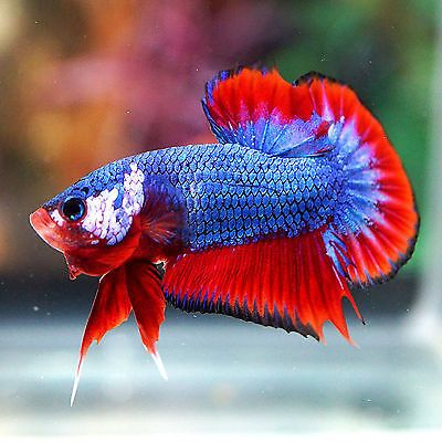 Live betta fish male fancy blue red monster big tail for Big betta fish