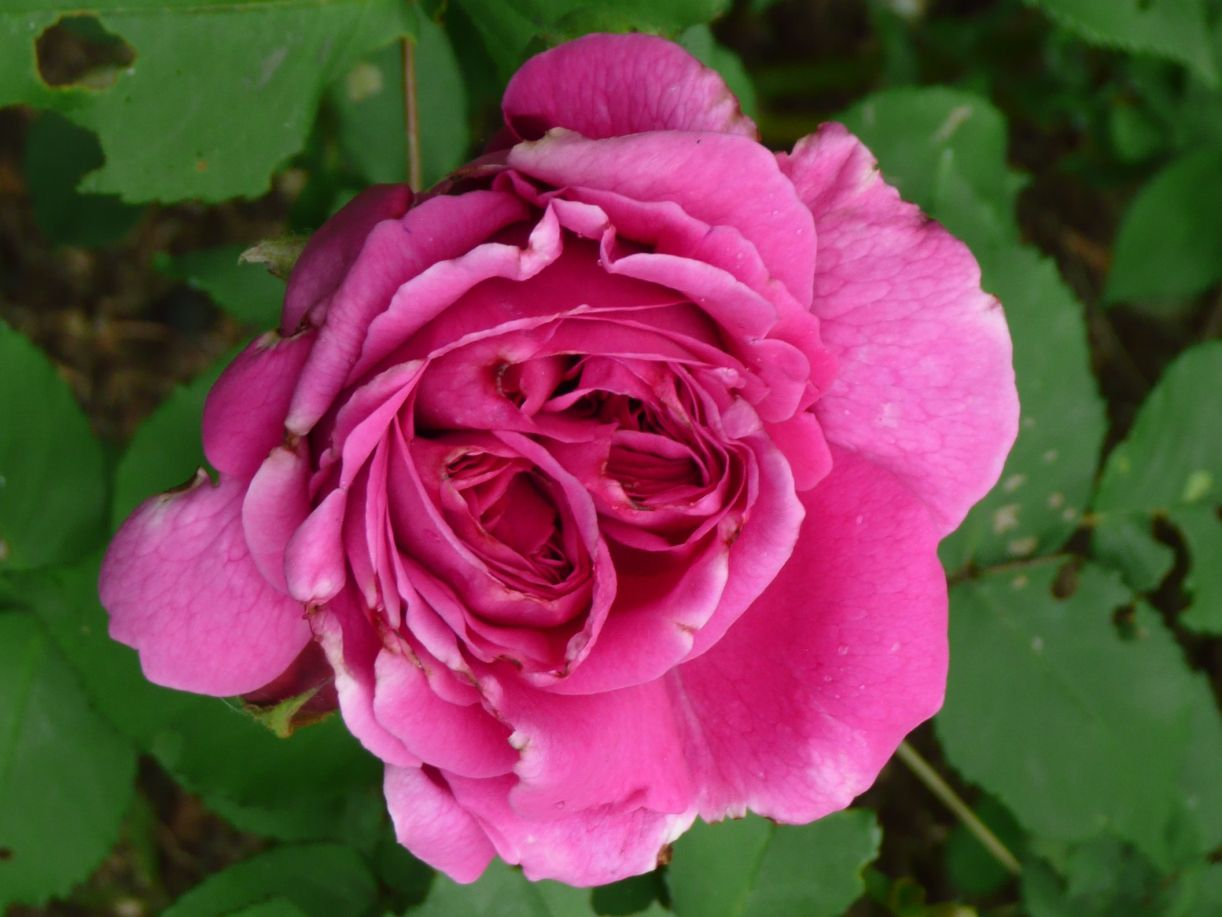 madame Isaac Pereire, lees alles over deze roos op rosarosatuinen.wordpress.com