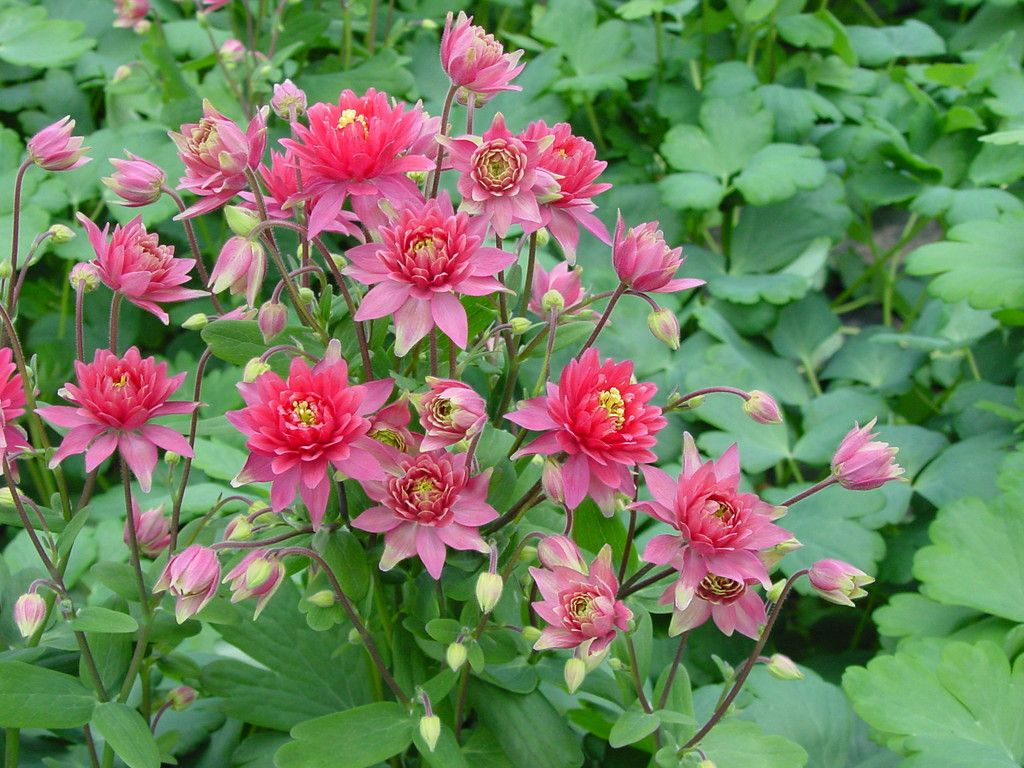 Aquilegia seeds clementine red bulk perennial seeds yards gardens columbine seeds for sale bulk aquilegia seeds this is the aquilegia clementine red this is easy to grow from perennial flower seeds 100 bulk columbine seeds izmirmasajfo Gallery