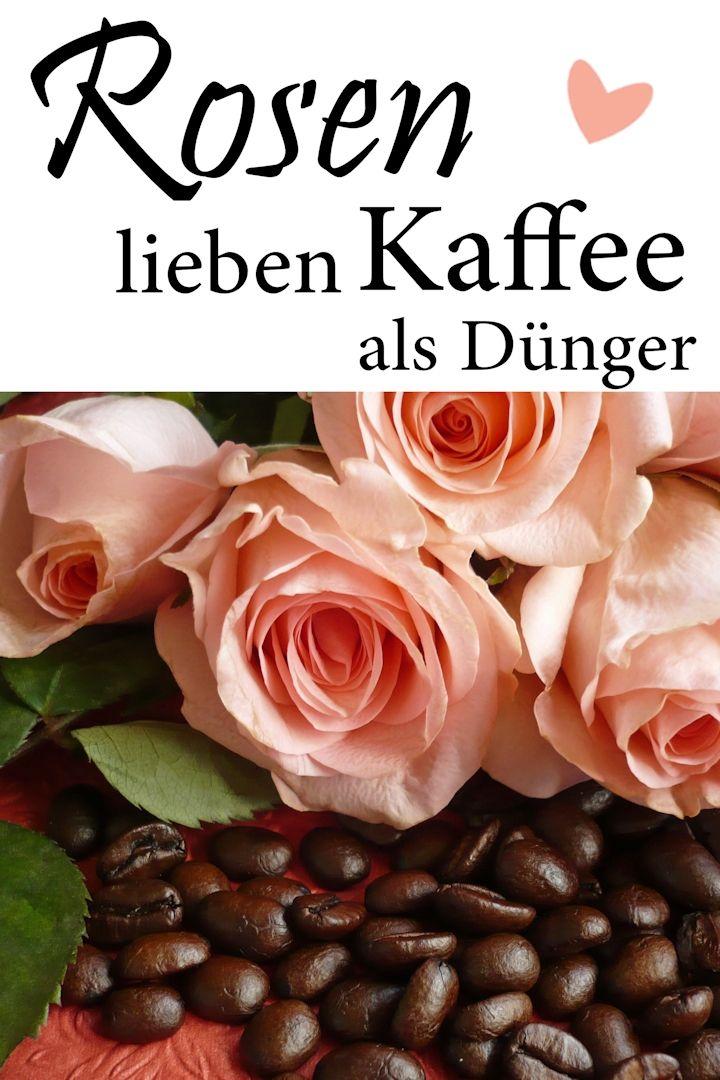 Kaffeesatz als Rosendünger