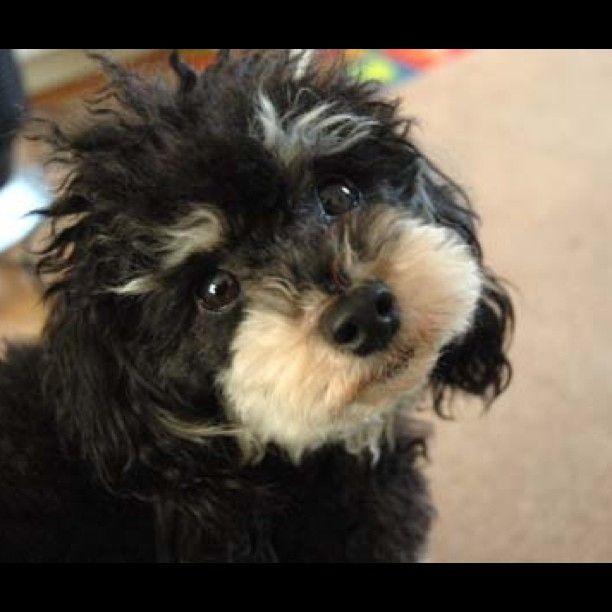 Cutie Apollotoy Poodle Phantom Color Phantom Poodle
