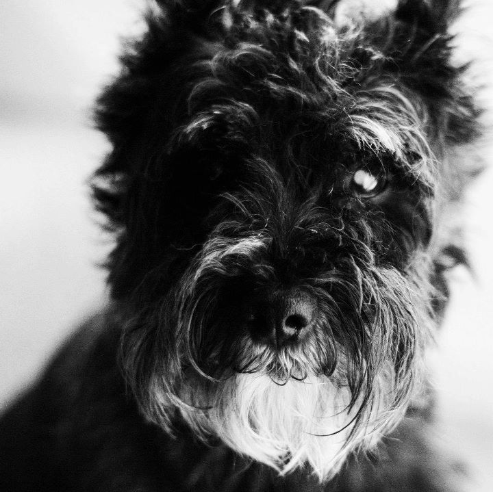 Gilded Lily Photography 2011.  Mini schnauzer.  Black.  Dog.  Sweet.  Classic black and white.  Our dog Whiskey.
