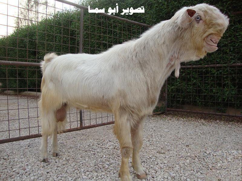 Damaskus Ziege