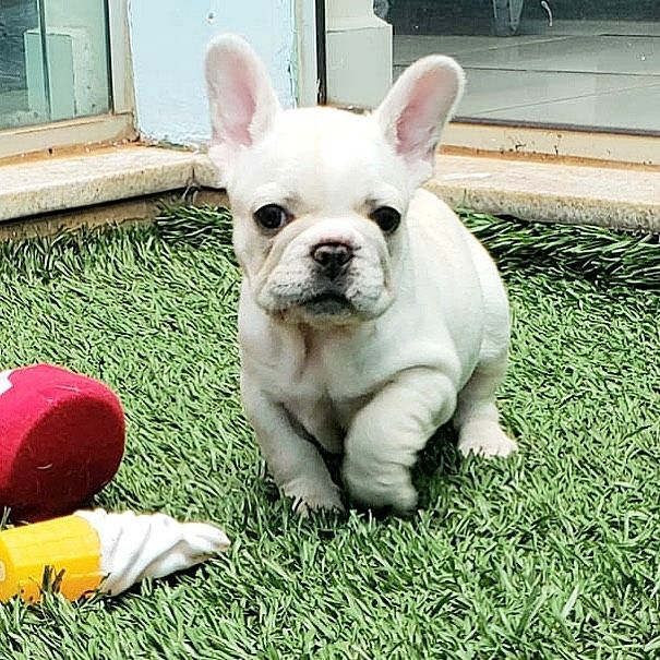 Tito Tito Is Available And Looking For A Forever Home For More Info On Tito Please Dm Cute Baby Animals English Bulldog Puppy Frenchie Lovers